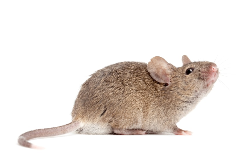 getting rid of mice in your basement mouse control rh mousecontrol ca how to get rid of mice in basement insulation how to get rid of mice in basement walls