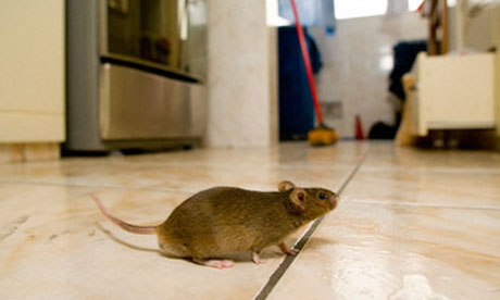 Why winters create more mouse problems