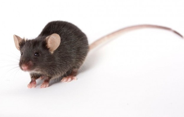 How mice keep from getting in weep holes