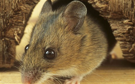 How to safely clean mouse droppings