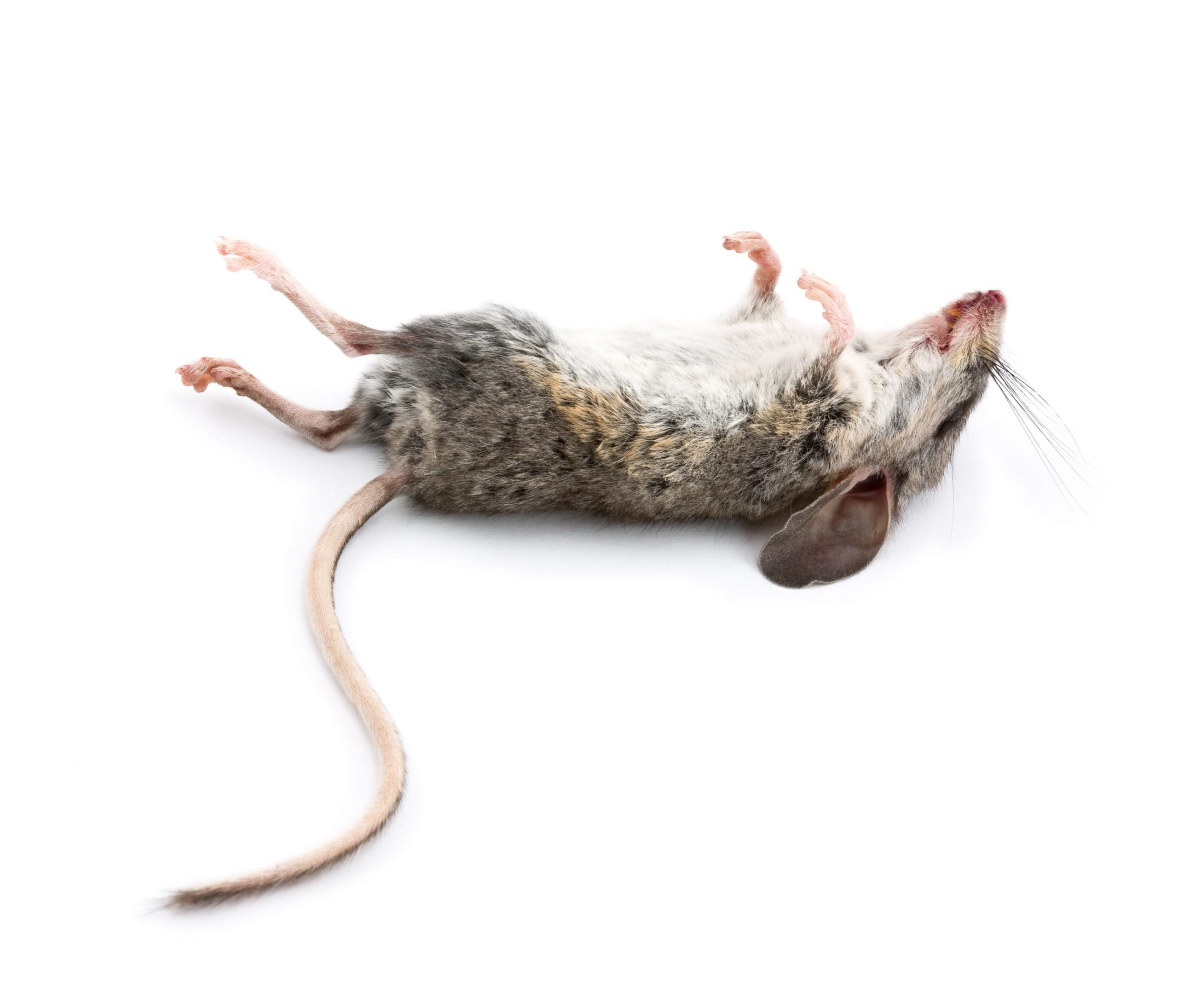 How do Dead Mice Smell Is it Recognizable