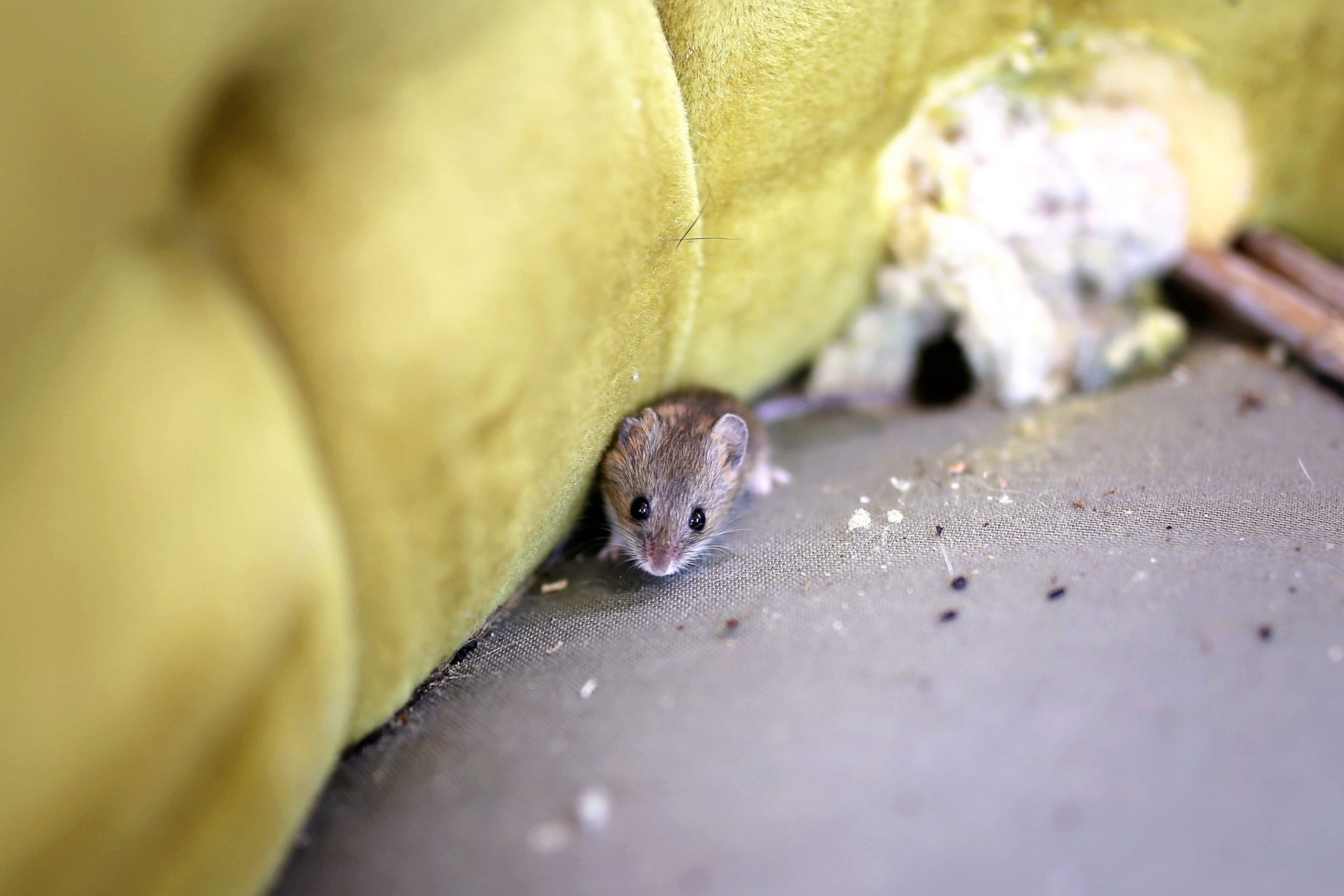 How to Clean Mouse Infested Furniture