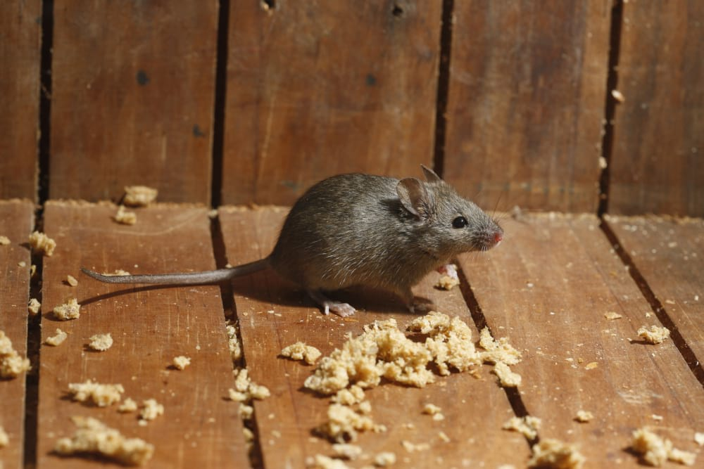 How to Disinfect Shed Infested by Mice