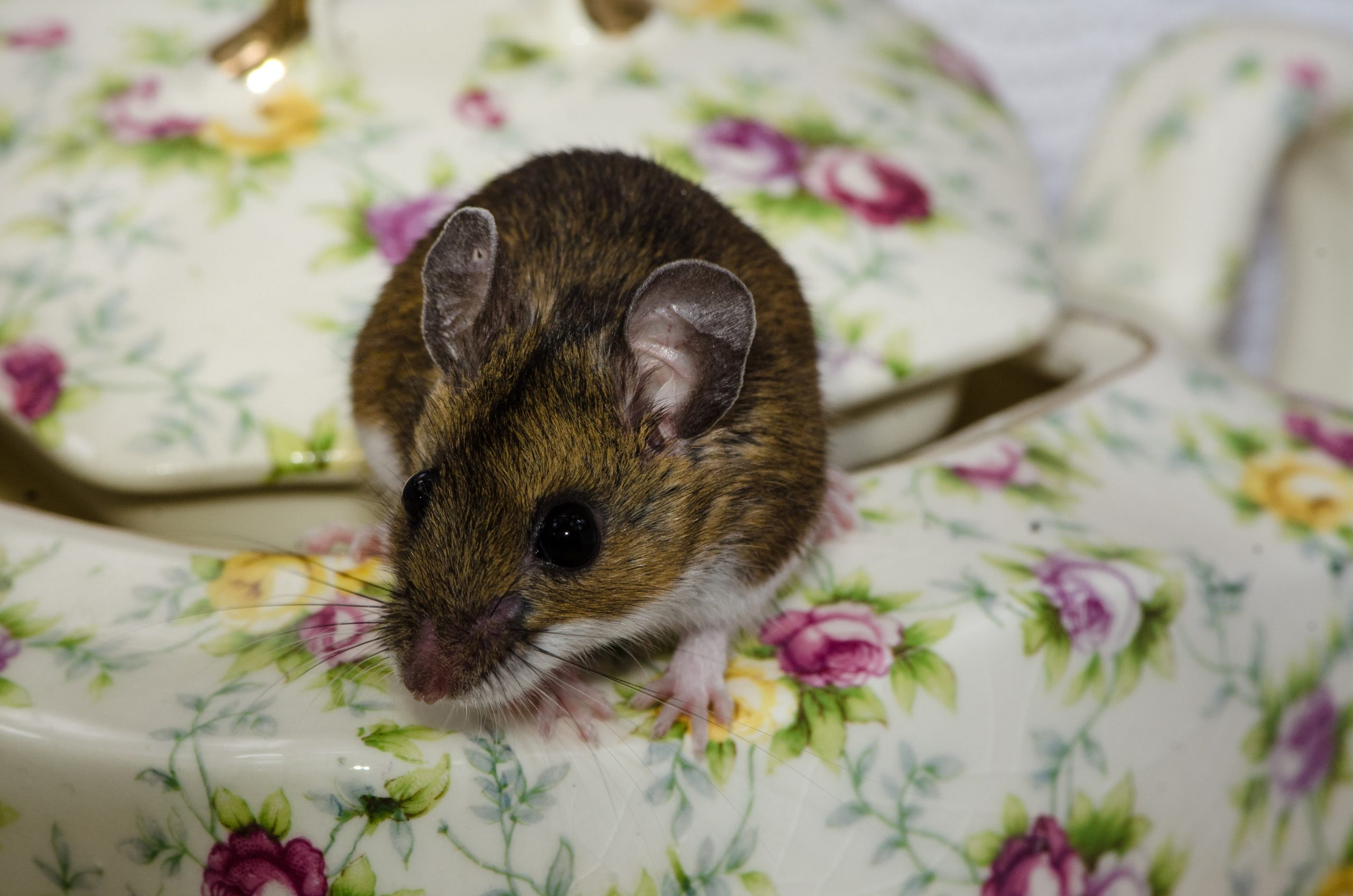 How to Get Rid of Small Mice in my Bedroom
