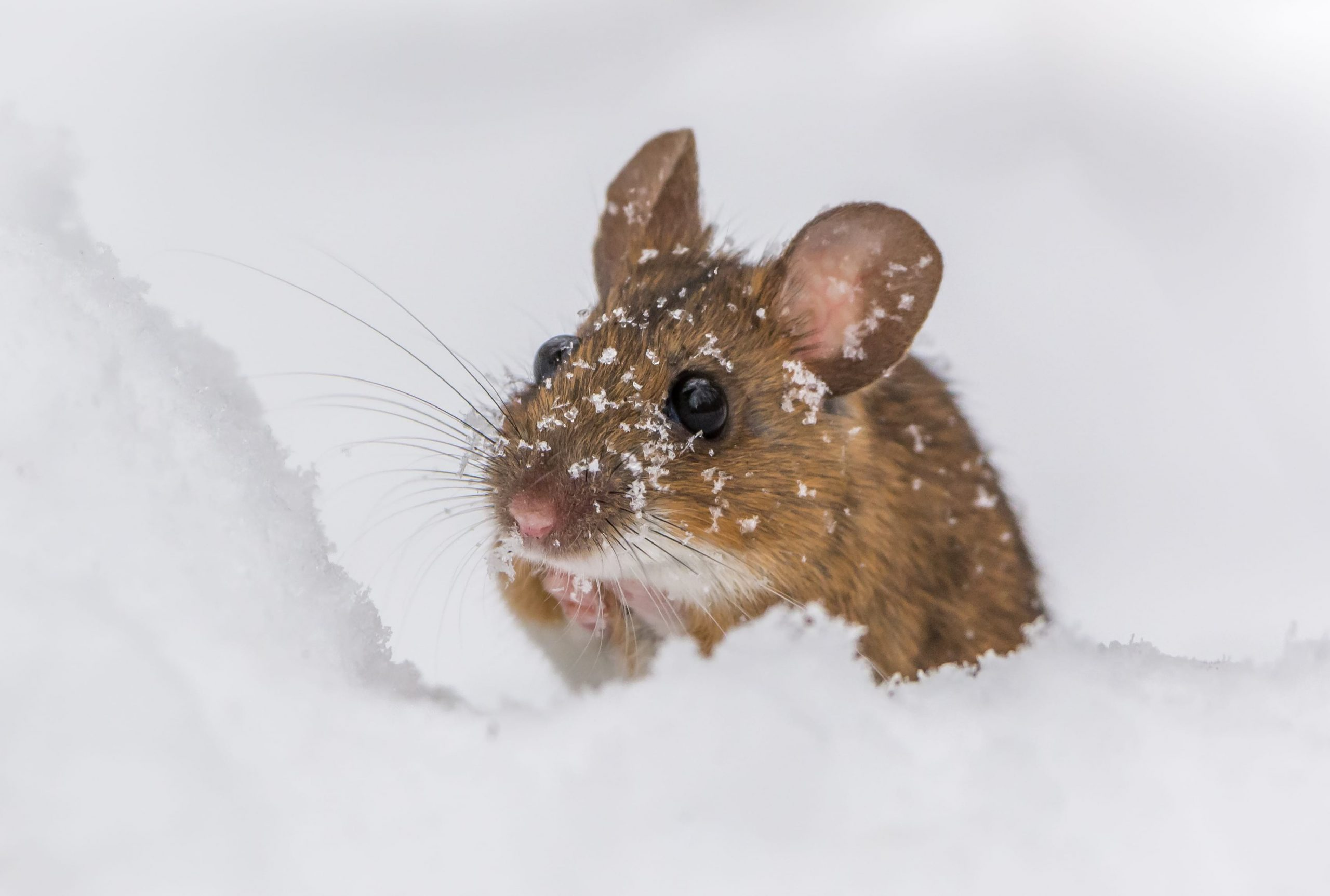How to Prepare for Mice in the Colder Months