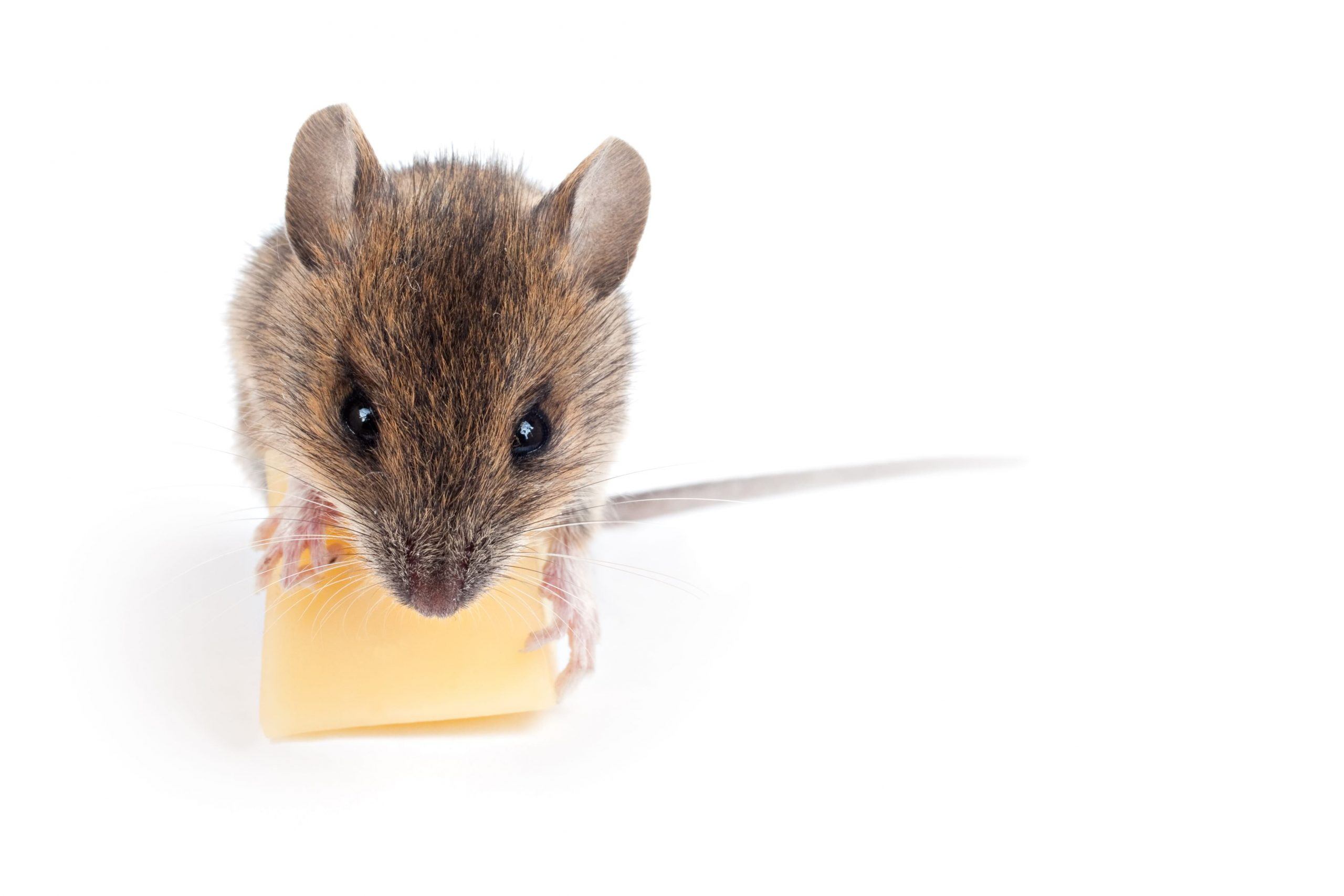 Mouse Myths that People Still Believe