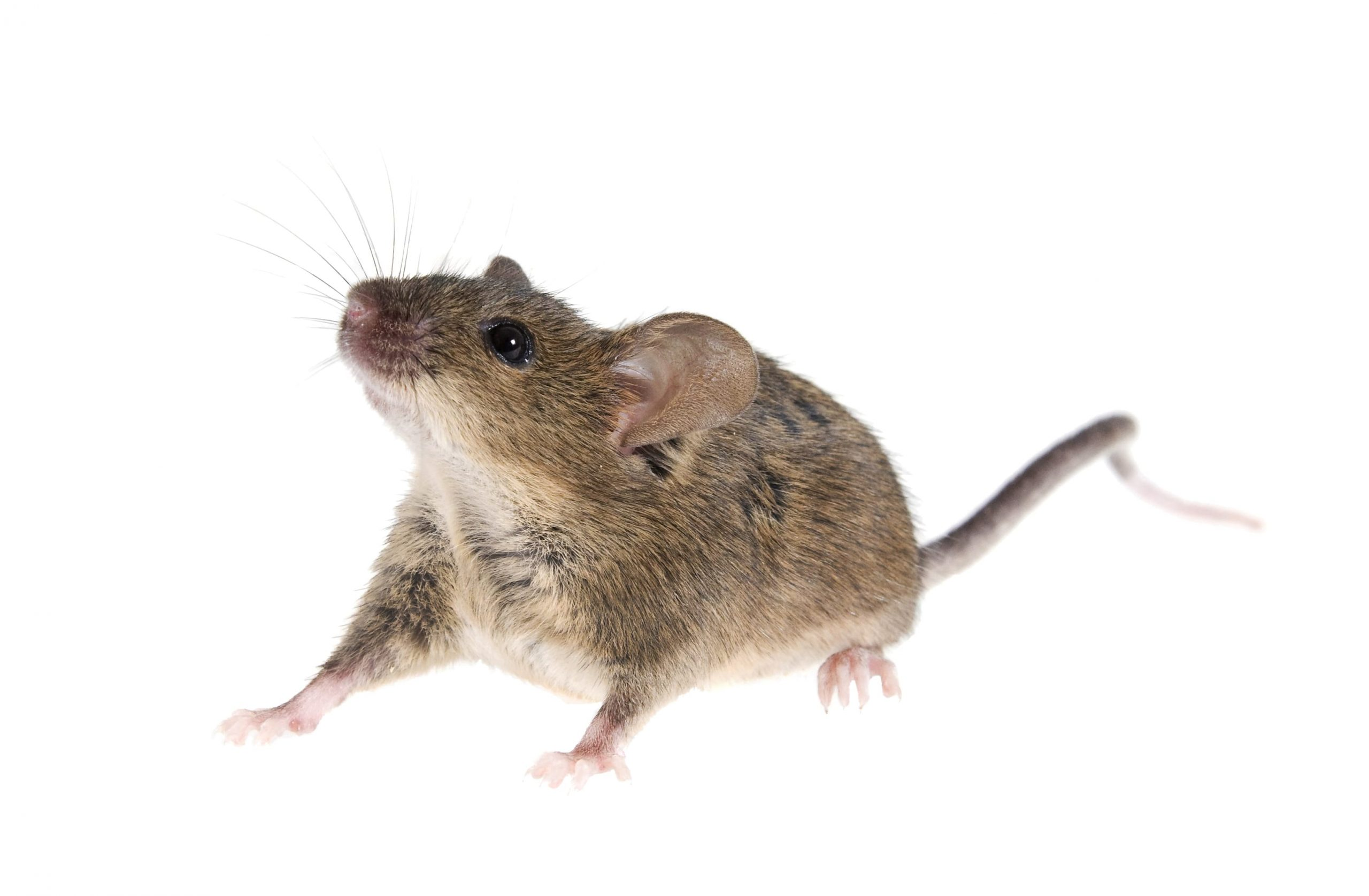 What Should I Do After a Mouse Treatment