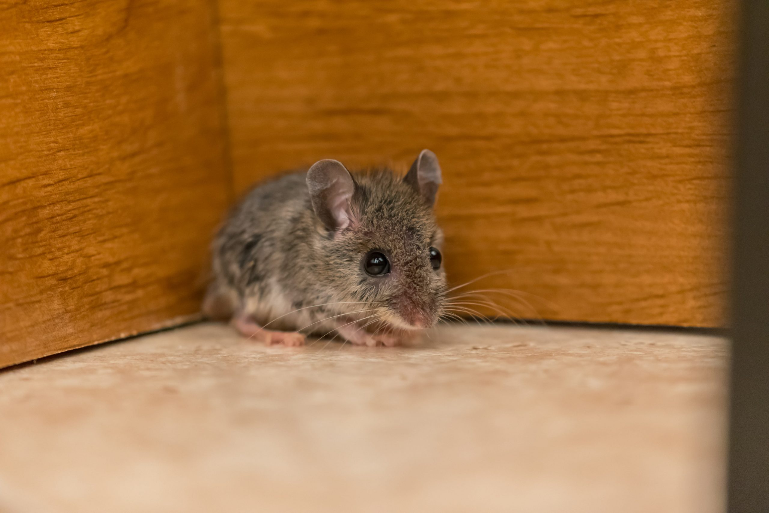 What to do When Finding Rodents in Classrooms