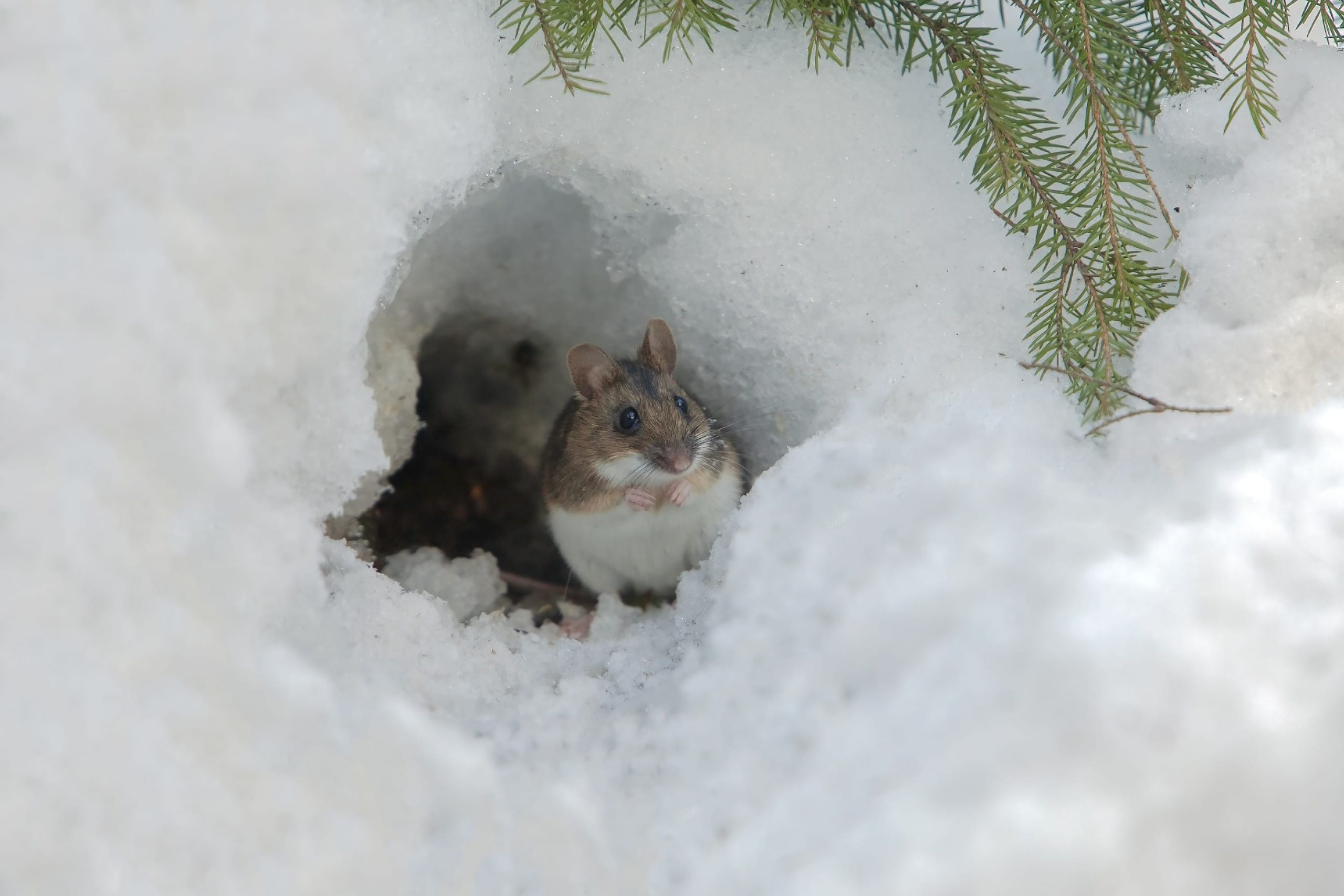 Where you can find Mice in your House During Winter
