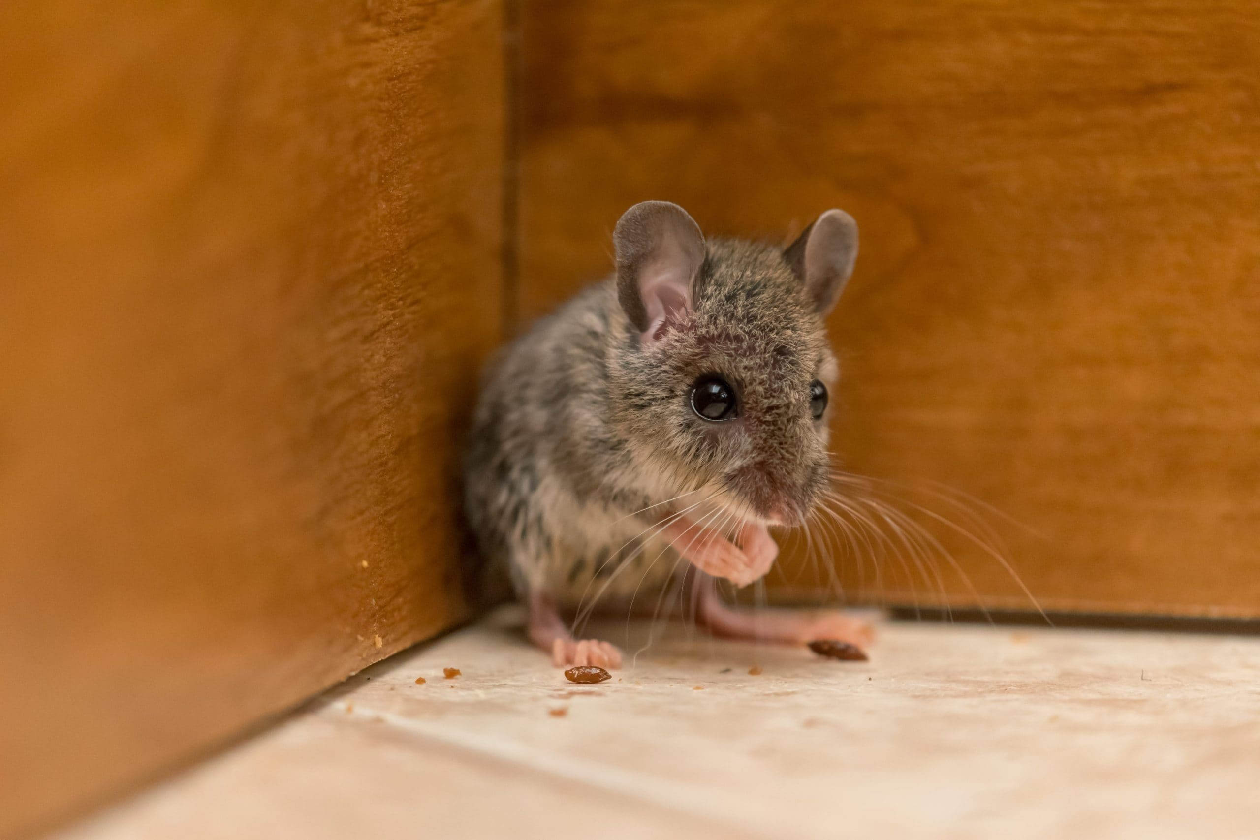 What Household Items Can I Use to Catch a Mouse