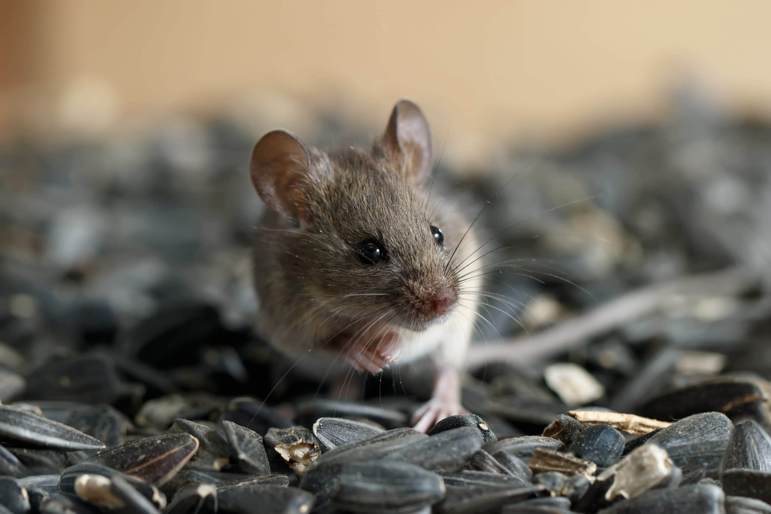 What Steps Exterminators Take to Eradicate the Presence of Mice
